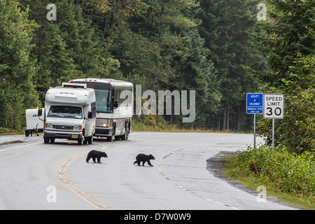 American black bear (Ursus americanus) COY (cubs of year), on the road to Mendenhall Glacier, Southeast Alaska, - Stock Photo