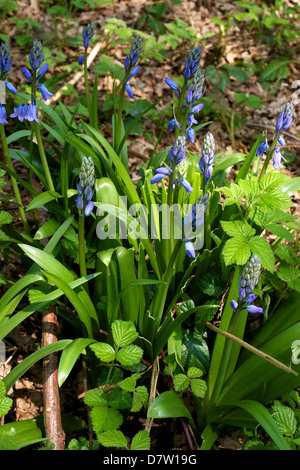 Hyacinthoides hispanica Spanish Bluebells growing in a Surrey Woodland in May - Stock Photo