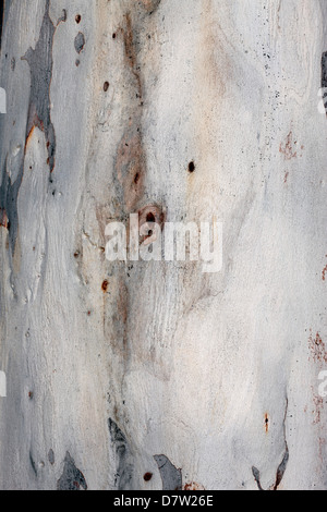 Close-up of bark of Red Spotted Gum/ Brittle Gum- Eucalyptus mannifera ssp. mannifera- Family Myrtaceae - Stock Photo