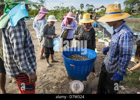 Bangtathen, Saphun Buri, Thailand. May 14, 2013. Workers weigh baskets of shrimp they pulled out of a shrimp pond - Stock Photo