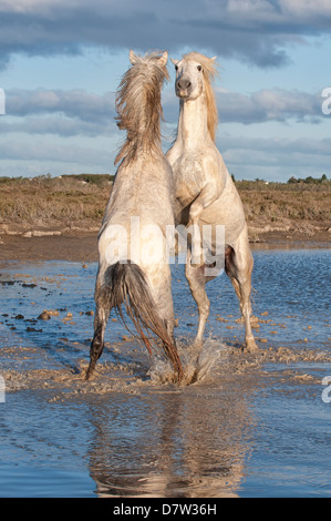Camargue horses, stallions fighting in the water, Bouches du Rhone, Provence, France - Stock Photo