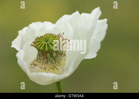 Opium poppy (Papaver somniferum), Turkey Minor - Stock Photo