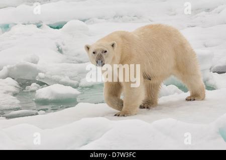 Female polar bear (Ursus maritimus), Svalbard Archipelago, Barents Sea, Norway, Scandinavia - Stock Photo