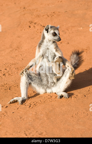 Ring-tailed lemur (Lemur catta) sunbathing with a suckling cub, near Threatened, Berenty Nature Reserve, Madagascar - Stock Photo