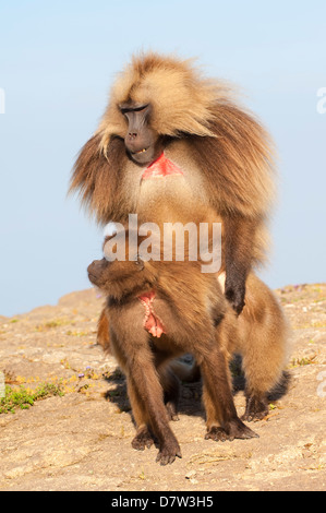 Mating Gelada baboons (Theropithecus Gelada), Simien Mountains National Park, Amhara region, North Ethiopia - Stock Photo