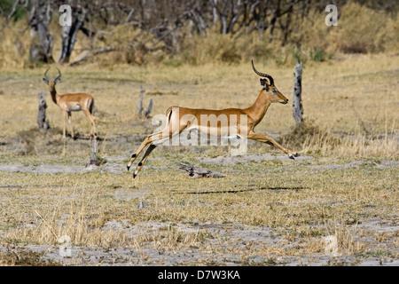 jumping impala - Stock Photo