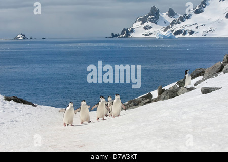 Chinstrap penguins walking up a glacial ice cap, Half Moon Island, South Shetland Island, Antarctic Peninsula, Antarctica - Stock Photo