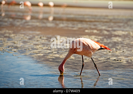 A James Flamingo feeding in a shallow lagoon on the Bolivian Altiplano, Bolivia, South America - Stock Photo