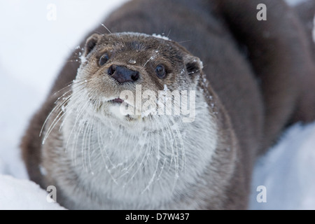 European otter - Stock Photo