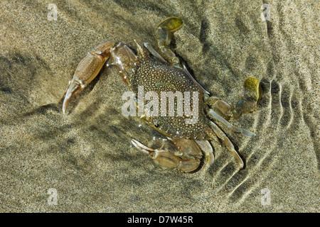 Superbly camouflaged crab on Playa Guiones beach, Nosara, Nicoya Peninsula, Guanacaste Province, Costa Rica - Stock Photo