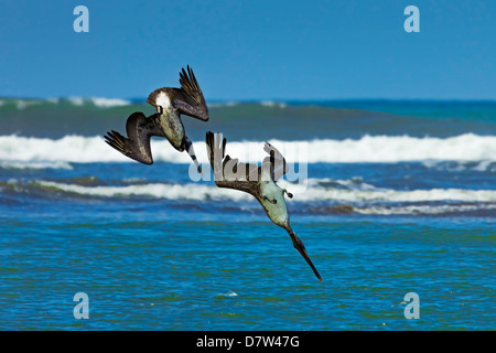 Pair of Brown Pelicans (Pelecanus occidentalis) dive for fish at the Nosara River mouth, Nosara, Guanacaste Province, - Stock Photo