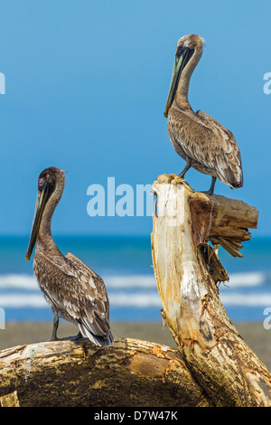 Pair of Brown Pelicans (Pelecanus occidentalis) perched at the Nosara River mouth, Nosara, Guanacaste Province, - Stock Photo