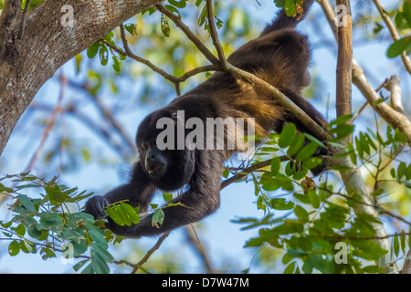 A Mantled Howler Monkey (Alouatta palliata), known for it's call, eating leaves in tree; Nosara, Guanacaste Province, - Stock Photo