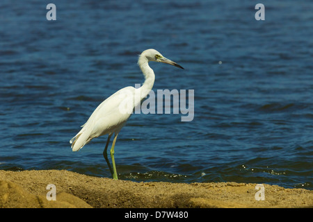 Snowy Egret (Egretta thula) by the Nosara River mouth near the Biological Reserve, Nosara, Guanacaste Province, - Stock Photo