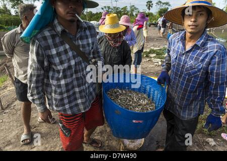 Bangtathen, Saphun Buri, Thailand. May 14, 2013. Workers carry baskets of a shrimp to a truck that will take the - Stock Photo