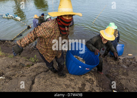 Bangtathen, Saphun Buri, Thailand. May 14, 2013. Workers haul shrimp out of a pond in Saphunburi province of Thailand. - Stock Photo