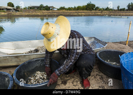 Bangtathen, Saphun Buri, Thailand. May 14, 2013. A worker sorts shrimp in Saphunburi province of Thailand. Early - Stock Photo