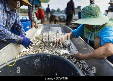 Bangtathen, Saphun Buri, Thailand. May 14, 2013. Workers sort shrimp in the bottom of a boat in Saphunburi province - Stock Photo