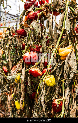 Due to economic considerations Bell Peppers were not harvested and left to dry in the field - Stock Photo
