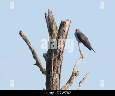 Cuckoo Cuculus canorus perched on dead tree - Stock Photo