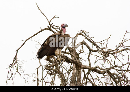 red-headed vulture - Stock Photo