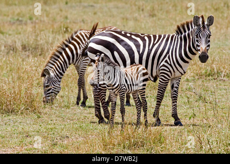 plains zebras - Stock Photo