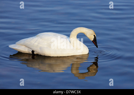 Trumpeter Swan (Cygnus buccinator) on the Mississippi River. - Stock Photo