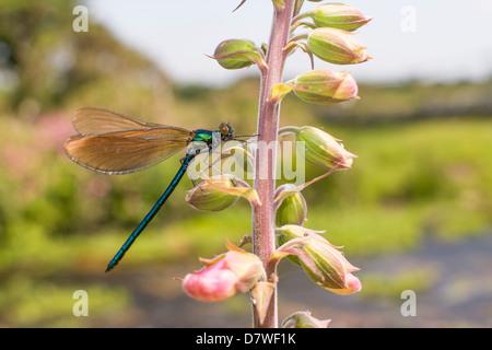 Beautiful Demoiselle - Calopteryx virgo - Stock Photo