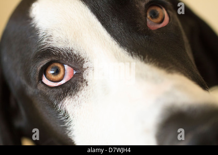 Great Dane Staring - Stock Photo
