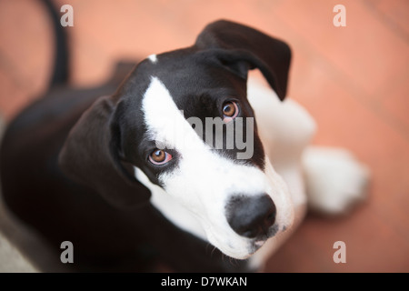 Puppy Great Dane Looking - Stock Photo