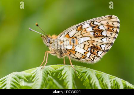 Small Pearl-bordered Fritillary - Boloria selene - Stock Photo