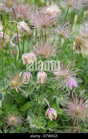 Pulsatilla vulgaris (Pasque Flower / Pasqueflower) seed heads - Stock Photo