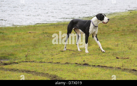 Mantle Great Dane - Stock Photo