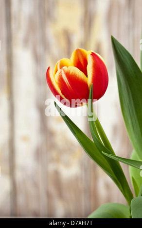 Portrait shot of a red tulip with yellow edges against a worn timber background. - Stock Photo