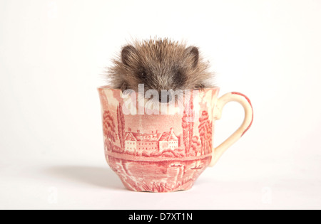 Juvenile Hedgehog in Cup - Stock Photo