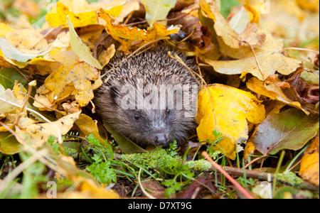 European hedgehog hiding under leaves in garden - Stock Photo