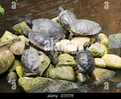island in the water with resting turtles - Stock Photo
