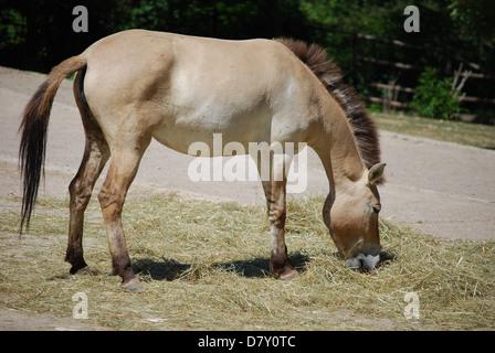 donkey eating hay, profile view - Stock Photo