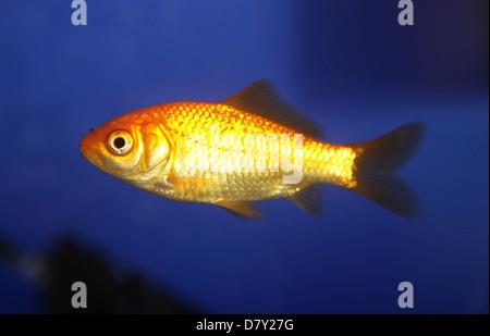Common goldfish Single adult profile UK - Stock Photo