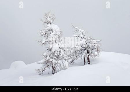 European larch trees (Larix decidua) in the snow in winter, Gran Paradiso National Park, Valle d'Aosta, Italy - Stock Photo