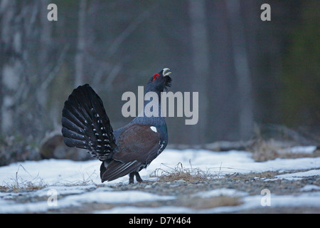 Male Capercaillie displaying at a lek site in Finland - Stock Photo