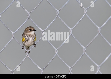 Yellow rumped Warbler perched on a wire fence - Stock Photo