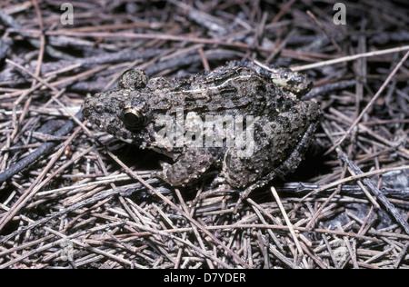 Cricket frog (Fejervarya / Limnonectes limnocharis: Ranidae) juvenile, Thailand. - Stock Photo