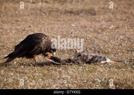 Phalcoboenus australis; striated caracara; Karakara; - Stock Photo