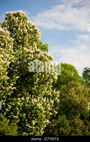 blooming big Aesculus tree on blue sky in garden - Stock Photo