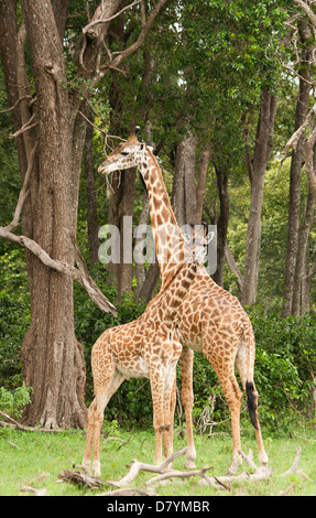 Two Masai Giraffe a young and older one (Giraffa Camelopardalis Tippelskirchi) standing by a tree on the Masai Mara, - Stock Photo