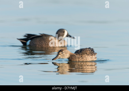 A mating pair of blue-winged teal (Anas discors), White Rock Lake, Dallas, Texas - Stock Photo
