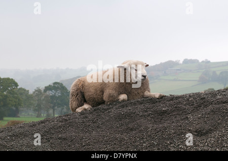 1 solitary domestic animal (sheep) lying on mound of stones in farm field, relaxing & looking sleepy with eyes closed - Stock Photo