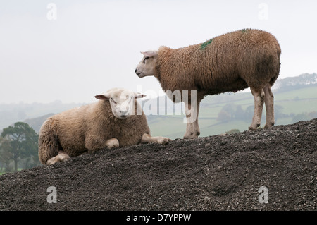 2 farm animals (sheep) on mound of stones next to each other, 1 lying & staring at camera & one standing up by her - Stock Photo
