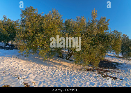 Olive groves and snow, Alcala la Real, Jaen-province, Region of Andalusia, Spain, Europe - Stock Photo